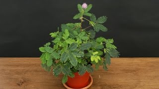 Growing the Sensitive Plant  (Mimosa pudica)