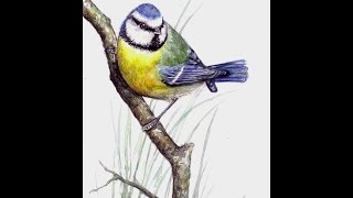 Blue Tit Bird: Speed Painting