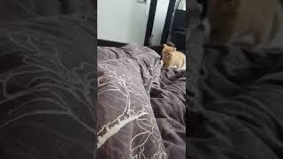 Шотландский шустрый прямоухий рыжий кот