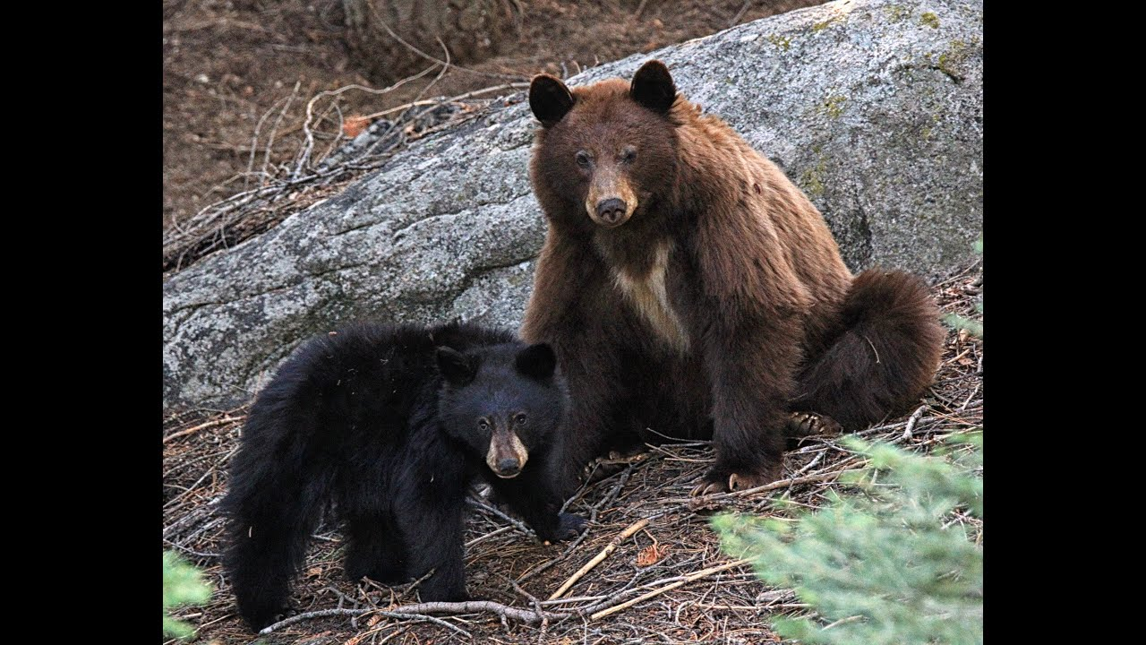 Black Bears Playing At Sequoia National Park Youtube