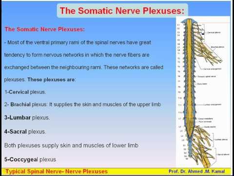17 Nervous System5 Typical Spinal Nerve Nerve Plexuses Anatomy