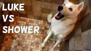 Cute Husky (Luke) vs Shower