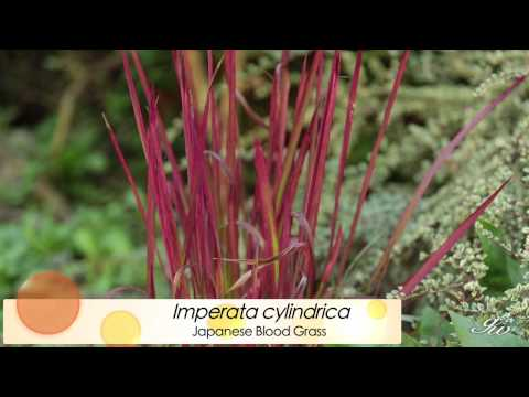 Ornamental Grasses - featuring: Japanese Blood Grass, Dwarf Fountain Grass & More!