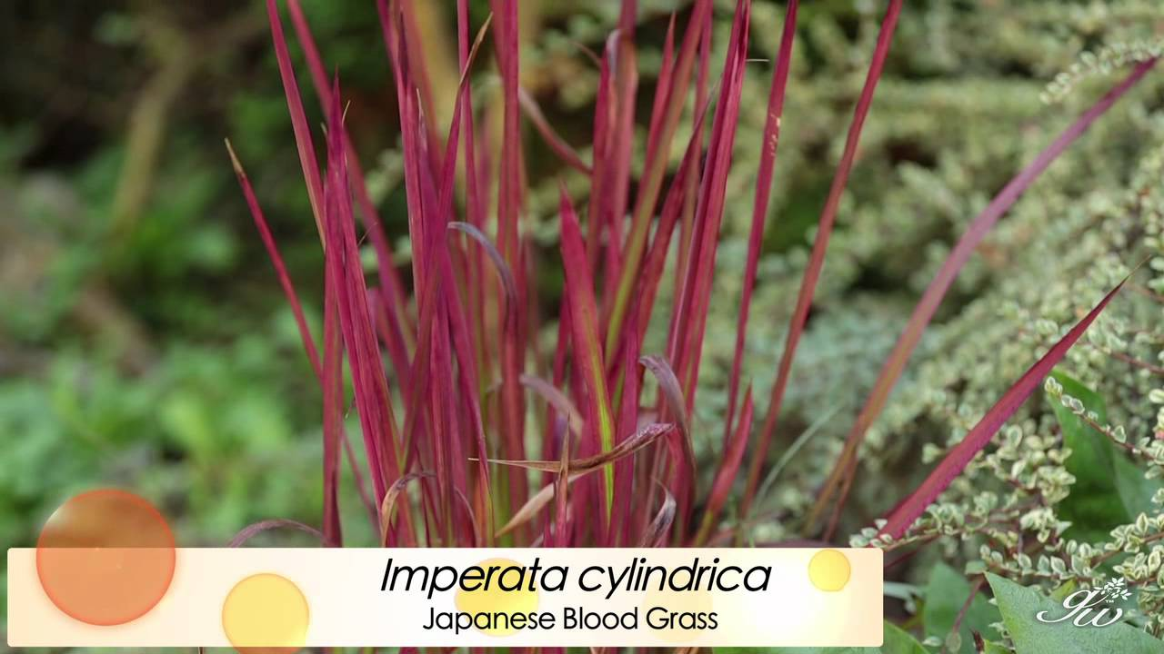 Ornamental grasses featuring japanese blood grass for Dwarf ornamental grass plants