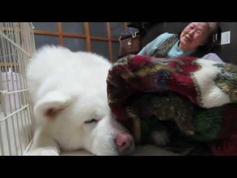 秋田犬お婆さんから今日の出来事を聞かされる【akita dog】