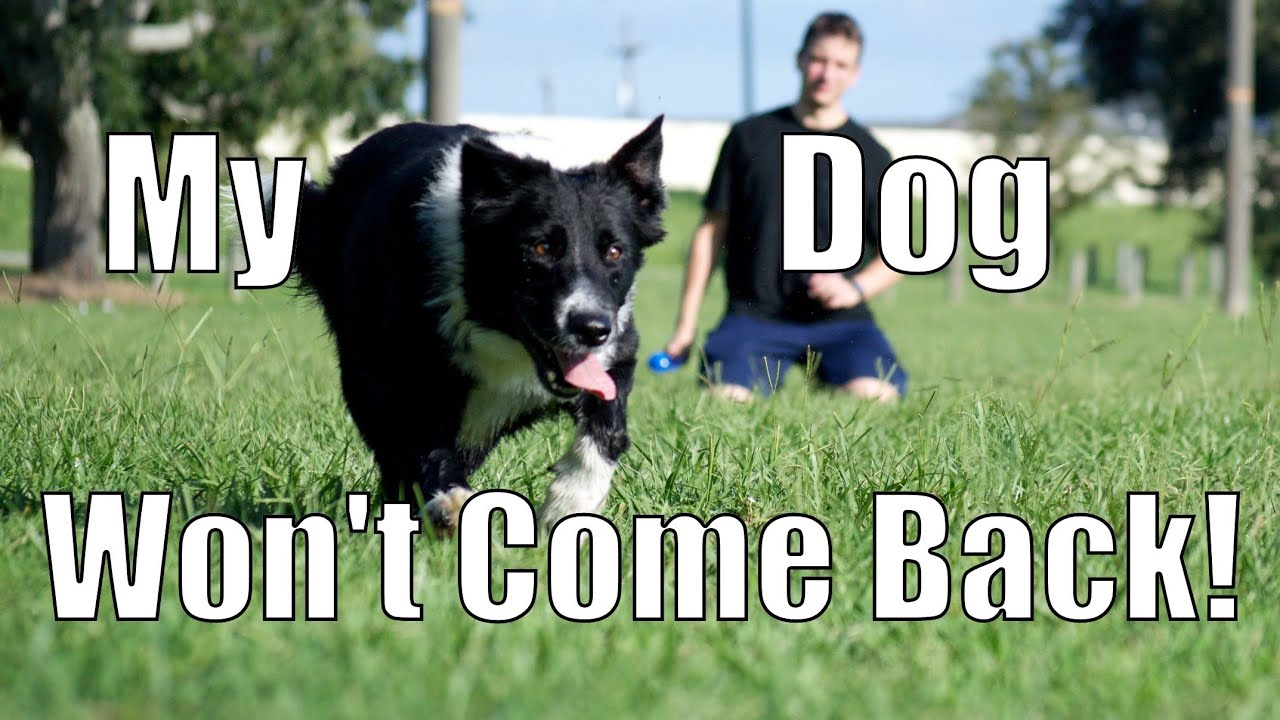 My Dog Takes Off and Won't Come Back! How to Train Your ...