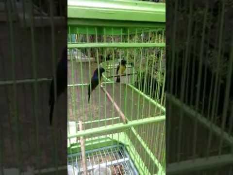 Suara burung Kolibri manggar
