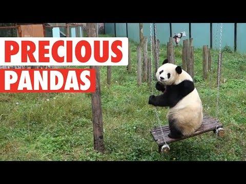 Precious Pandas Video Compilation 2018