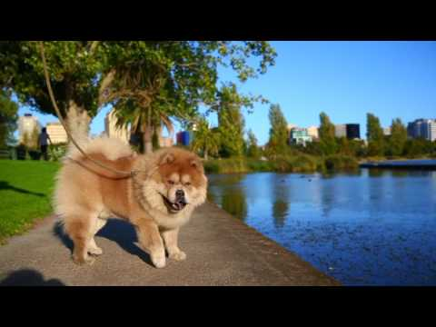 Gunnar the Chow Chow in Albert Park | Ragamuffin Pet Photography