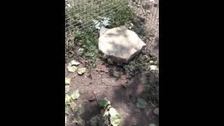 Среднеазиатская черепаха уход