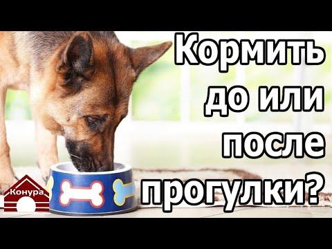 Когда кормить  собаку, До прогулки или После???