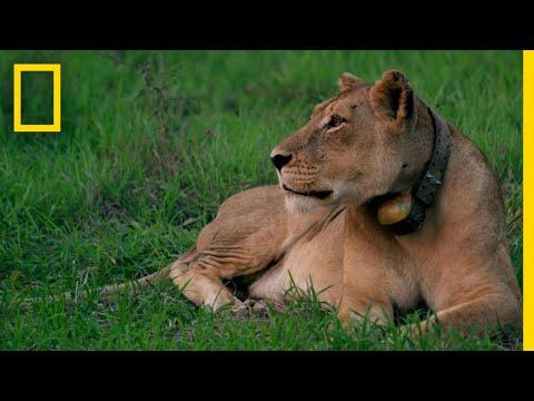 Rewilding Gorongosa: Lions   National Geographic