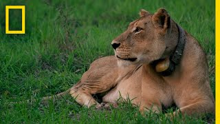 Rewilding Gorongosa: Lions | National Geographic