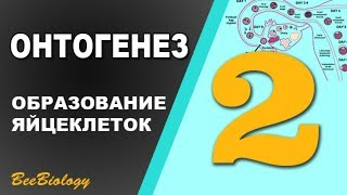 Урок №2 - Онтогенез - Овогенез - Образование Яйцеклеток - Овуляция
