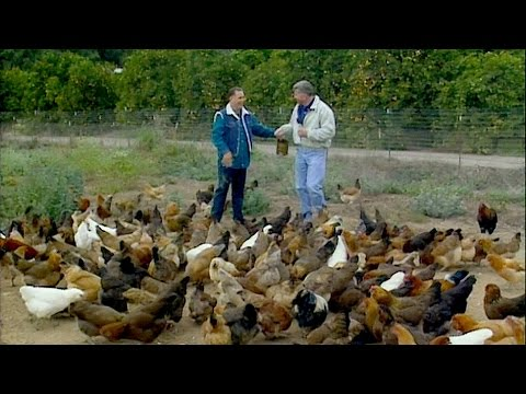 Visiting with Huell Howser: Happy Chickens