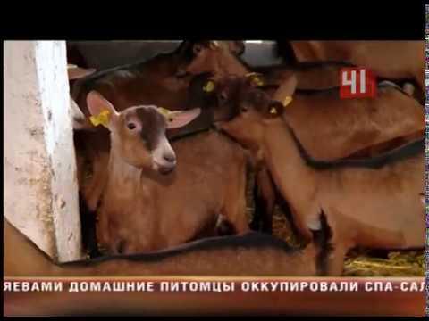 Беременные козы
