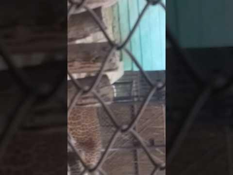 Patna zoo.. jaguar