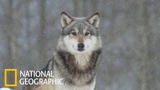Россия Тайга Волки Дикая природа России Документальный фильм National Geographic 2020