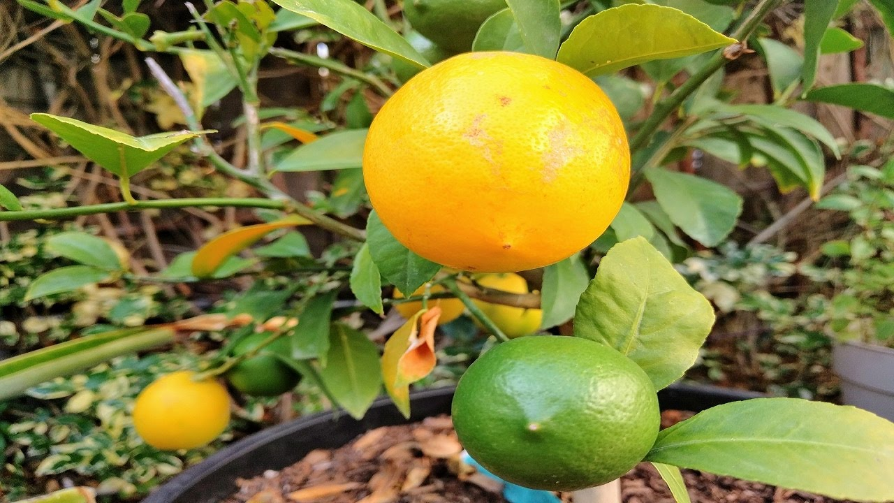 how to tell if lemon tree is growing root