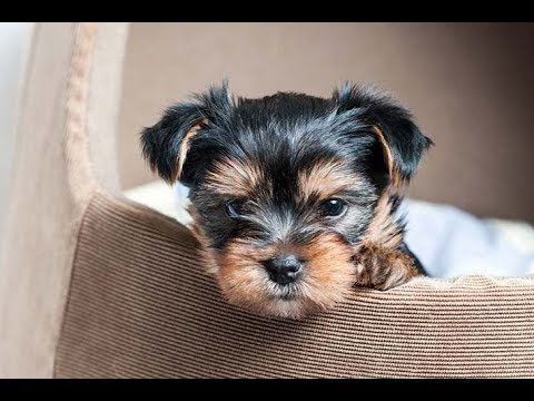 A Cute Little Yorkshire Terrier Puppy at Dogs Rescue Center |  by PetFect