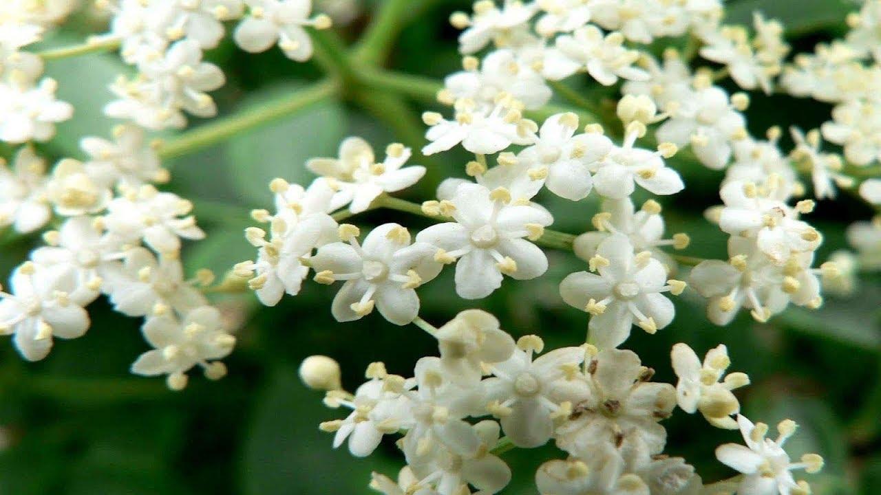 Tips To Get More Flowering In Motiajasmine Plant Flowering Hacks