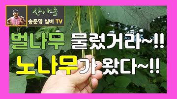 벌나무와 맞먹는 약재 개오동나무(노나무)효능 산야초 송준영 TV 산약초산행