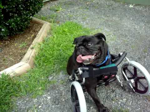 Bernice The Tripawd Pug In Her Eddie S Wheels Dog