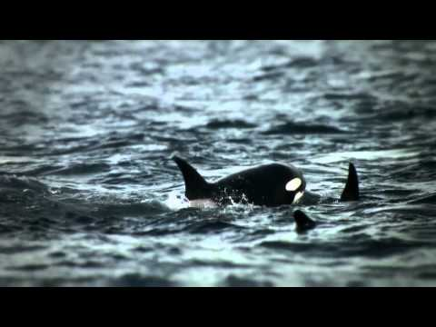 Killer whales hunting greys in Alaska