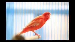 Suara Burung Kenari Merah Nyaring Banget