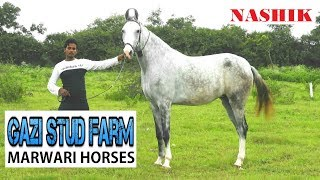 GAZI STUD FARM HORSES || Nashik