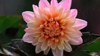 Распускающиеся цветы!(Красивые, природные - распускающиеся цветы! Очень красиво выглядит, как живые, аж захватывает! Хочется смотр..., 2014-04-05T15:23:53.000Z)