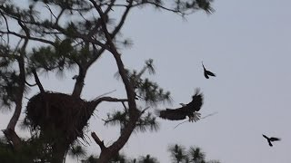 SWFL Eagles_A Stick Delivery By Both Adults As The Sun Rises 05-15-15