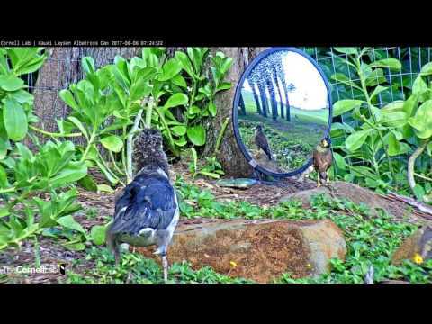 Albatross Chick Pu'u Watches Myna in the Mirror – June 6, 2017