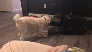 1-Year/6-Month Old Miniature Poodle Exploring Pet Carrier