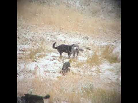 Yellowstone Wolf Puppies Playing in Snow in Yellowstone National Park