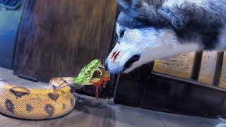 ВПЕРВЫЕ змея укусила собаку / Клык удава остался в носу собаки