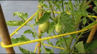 3 tip making creepers simple for tomatoes