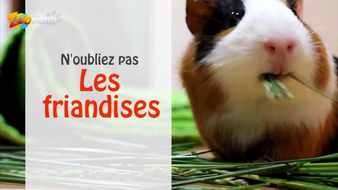Quelle Nourriture Donner Au Cochon D Inde Youtube