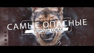 Самые опасные породы собак в мире ( ТОП 10 )