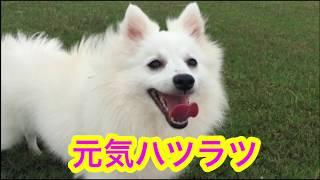 japanesespitz Lemon  <元気ハツラツ> わたちレモン  白もふ 白もふ犬...