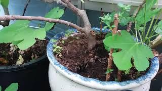 무화과 꺾꽂이 싹과 백하수오작년열린 씨앗에서발아 블루베…