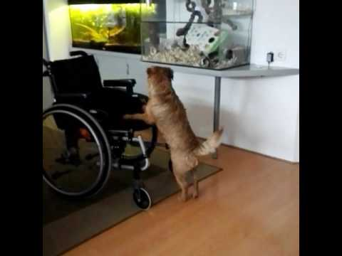 Border Terrier Ollie makes Gerbil watch wheelchair excessible.. #borderterrier #gerbil #wheelchair