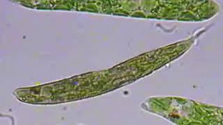 유글레나 현미경 관찰.…