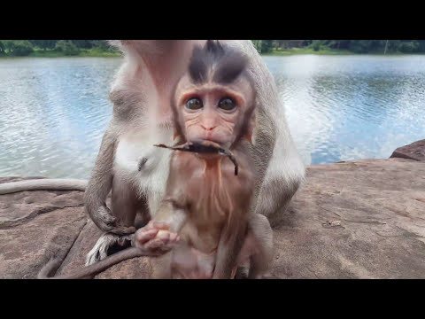 Bad kidnapper try to kill baby monkey Amara, Please don't pass away Poor Amara, poor baby monkey