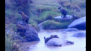 Hyena pack finds the dead hippo. Africa River cam. 29 August 2018