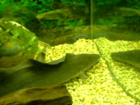 18 aba aba knife fish devouring a scrumptious goldfish for Aba aba knife fish