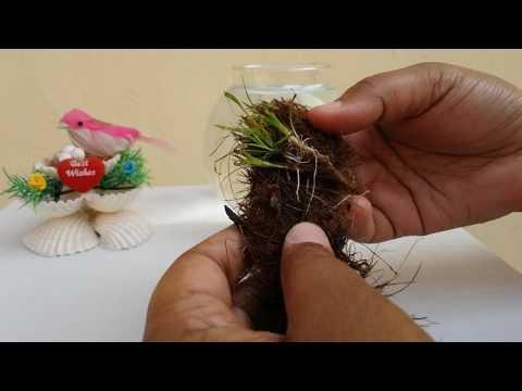 மீன் தொட்டி செடி வளர்ப்பது எப்படி - How to grow Aquarium Plants in Tamil