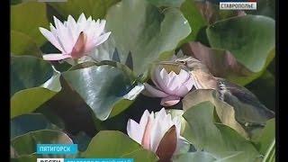 Куда исчезли водяные лилии