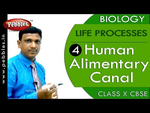 Human Alimentary Canal| Life Processes | Biology | CBSE Class 10 Science