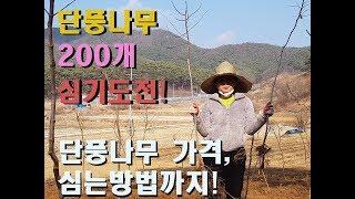 단풍나무 200개 심기 가격은?